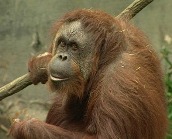 https://washington.comcast.com/wp-content/uploads/sites/14/2010/10/woodland-park-zoo-orangutan.jpg